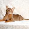 Абиссинская кішка - кімнатна пума