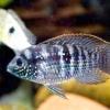 Акара блакитно-плямиста