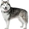 Аляска маламут: характер породи, догляд і виховання щеняти маламута.