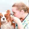 Алергічний отит у собак