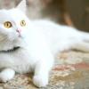 Білі кішки: аристократки до кінчиків лап