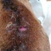Блошиний дерматит у собак
