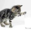 Чим годувати кошеня