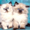 Чим годувати перських кошенят