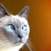 Чим годувати сіамських кошенят
