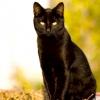 Чорні кішки: містичні й чарівні