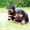 Що робити, якщо собака або щеня писати від збудження і радості, і як відучити їх від цього?