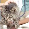 Цистит у кішки