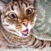 Діабет у кішок