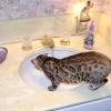 Характер бенгальської кішки