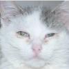 Хламідіоз у кішок