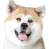 Японська акіта іну: характер та рекомендації за змістом.