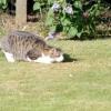 Як кішки полюють
