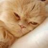 Як лікувати кішку від отруєння? поради ветеринара.