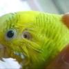 Як лікувати очинить кліща у хвилястого папугу
