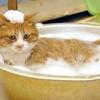 Як мити кішку