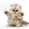 Як назвати перського кошеня хлопчика і дівчинку