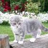 Як назвати шотландського висловухого кошеня хлопчика і дівчинку