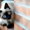 Як назвати сіамського кошеня хлопчика і дівчинку