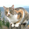 Як назвати триколірну кішку
