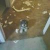 Як відучити цуценя або собаку гризти речі в будинку?