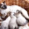 Як прийняти пологи у кішки