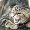 Як виявляється сказ у кішок
