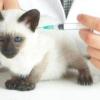 Які щеплення роблять кошенятам?