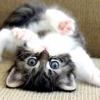 Які щеплення робити кошенятам