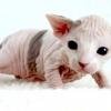 Канадський сфінкс або місячна кішка