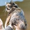 Кимрик - довгошерста кішка з острова мен