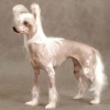 Китайська чубата собака