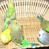 Линька у хвилястих папуг