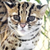 Маленькі леопарди - бенгальські кішки