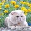 Порода кішок - шотландська прямоухая (scottish straight)