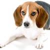 Порода собак бігль: характеристика породи та поради господареві.