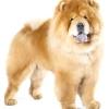 Порода собак чау чау: опис характеру, поради з содеражанію і дресируванню.
