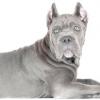 Порода собак кане корсо: опис характеру та поради починаючому собаківникові.