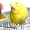 Розмір клітини для хвилястого папугу