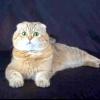 Шотландські висловухі кішки