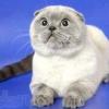 Шотландський висловухий кіт - фото