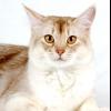 Сомалійська порода кішок - пухнасте сонце у вашому будинку
