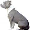 Стаффордширський тер'єр: характер собаки та поради починаючому собаківникові.