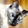 Токсоплазмоз у кішок