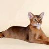 Найласкавіші породи кішок