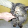 Алергічний дерматит у кішок