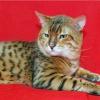 Бенгальська кішка