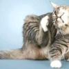 Блохи у домашньої кішки