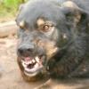 Бійцівські породи собак