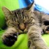 Чи хворіють кішки грипом? причини котячого грипу